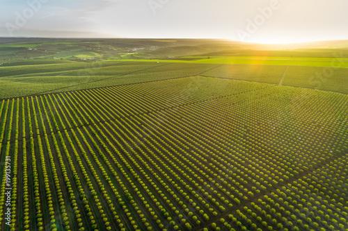 Foto Aerial views of almond tree plantation in Alentejo, Portugal
