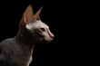 Portrait of Sphynx Cat Isolated on Black Background, profile view