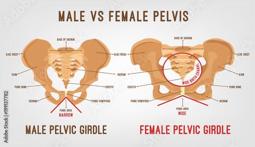 Fotografie, Obraz  Female Male Pelvis