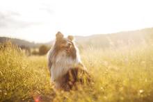 Sheltie Dog In The Sunset