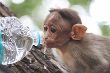 Little Monkey Sitting On The Tree. Greedily Drinking Water From The Hands Of The Tourist