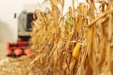 Harvesting Corn Crop Field. Co...