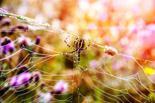 Argiope Spider Sits On The Web...