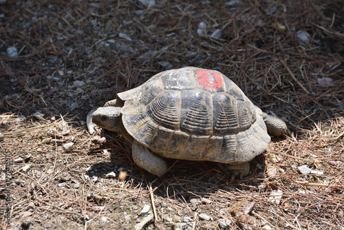 Foto op Aluminium Schildpad Adult turtle crawls on the ground with dry grass. Turtle in the zoo