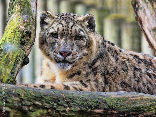 Fototapeta premium Resting Snow Leopard, Uncia uncia