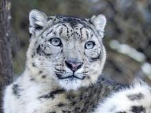 Portrait Snow Leopard, Uncia U...