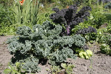Red And Green Curly Kale Growi...