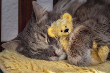 Grey Cat Cuddling With A Teddy...