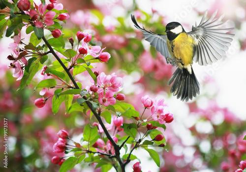 Fototapeta premium słodka sikorka leci machając skrzydłami do kwitnącej wiosny gałęzi jabłoni w maju