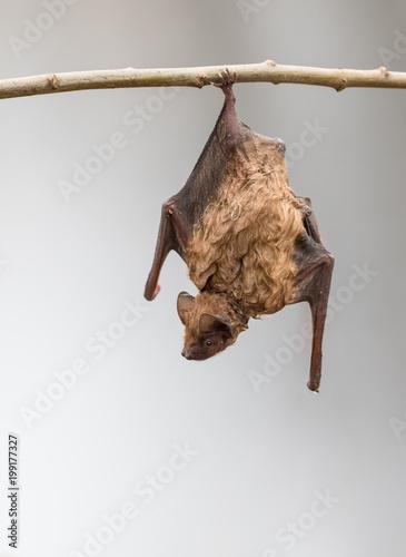 Nasse Fledermaus hängt mit einem Bein zum trocknen an einem Weidenzweig.Großer Abendsegler war bei Insektenjagd in einen Teich gestürzt.