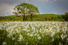 A Field Of Wild Narcissus. Nar...