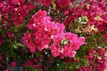 Blooming Bougainvillea Red Fuc...