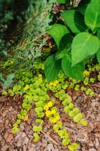 Lysimachia Nummularia Aurea (creeping Jenny Moneywort) Blooming In Summer Garden