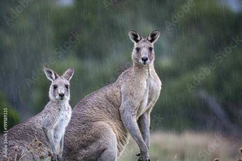 Spoed Fotobehang Kangoeroe Roos in the Rain
