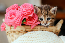 Small  Kitten In The Basket Wi...