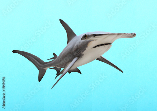 The Great Hammerhead Shark - Sphyrna mokarran is dangerous predatory fish. Animals on blue background.
