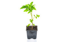 Young Tomato Seedling Plant In...