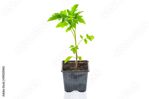 Young tomato seedling plant in a pot isolated on a white background. Gardening. farming and spring concept.