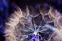 Dandelion Seeds View With Natural Light, On Blurred Background. Fabulous Intensity Colors. Selective Focus