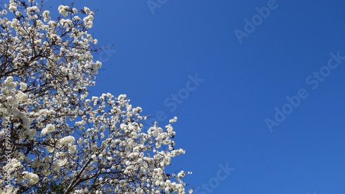 Foto op Plexiglas Magnolia Clear sky and spring blooming tree with white flowers (lower left)
