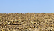 Maize Last Stalk Corn Harvesting