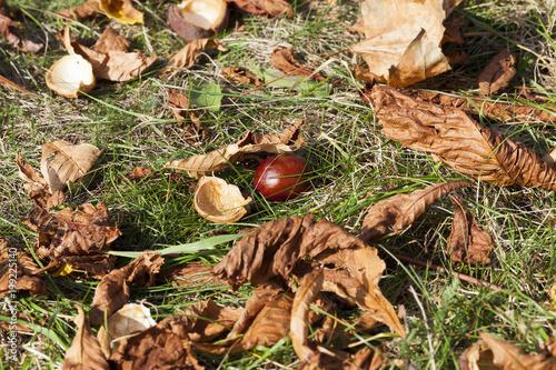 Fotografia, Obraz  ripe chestnut