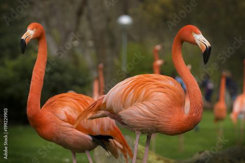 Foto op Aluminium Flamingo Flamenco Caribeño o Flamenco de Cuba