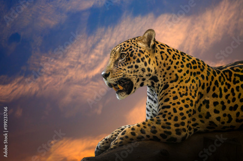 Photo sur Aluminium Leopard Young Jaguar resting on the rocks in the natural atmosphere.