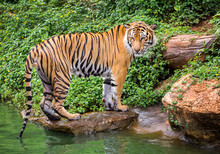 Sumatran Tiger Standing In The...
