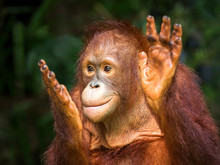 Young Orangutan Clapping Delig...