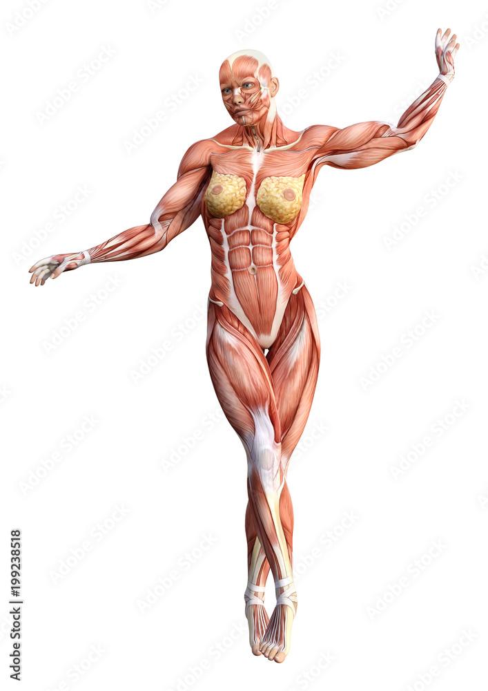 3d Rendering Female Anatomy Figure On White Foto Poster Wandbilder