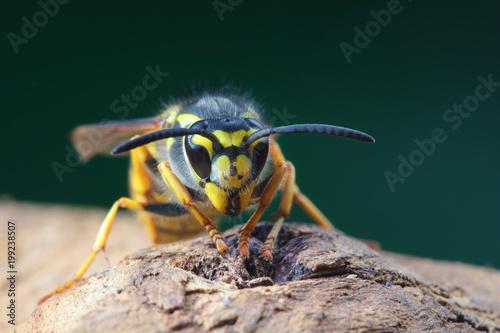 Fényképezés Portrait of dangerous and  poisonous Vespula germanica wasp