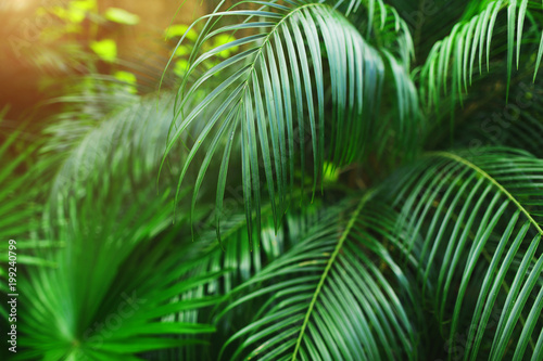 Green Tropical Big Palm Leaves With Sunlight In Exotic