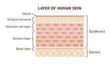 Layer Of Human Skin Illustration