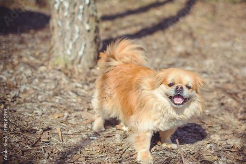 Fototapeten Natur Pekingese breed, dog at walk. Life of pet go outside, sunny outside. Best friend ever