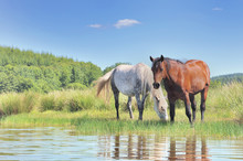 Two Beautiful Horses Grazing Herb In A Swamp