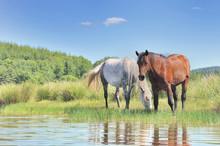 Two Beautiful Horses Grazing H...