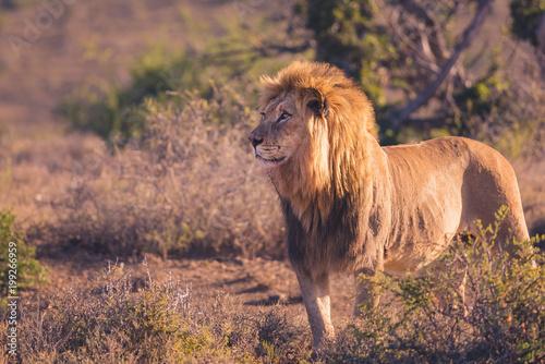Foto op Plexiglas Leeuw Lion on safari in South Africa