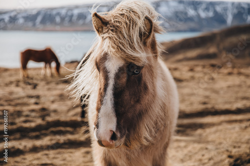 Fototapeta close-up view of beautiful icelandic horse on pasture, hvalfjardarvegur obraz