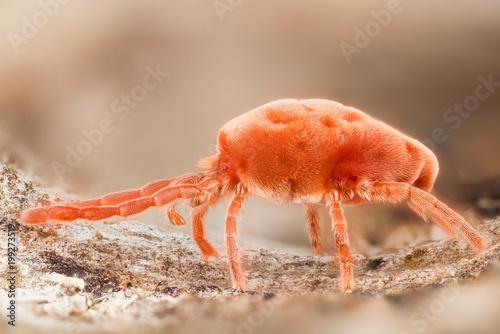 Red Velvet Mites, Rain Bugs, Trombidiidae