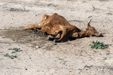 Dead Cow In The Desert