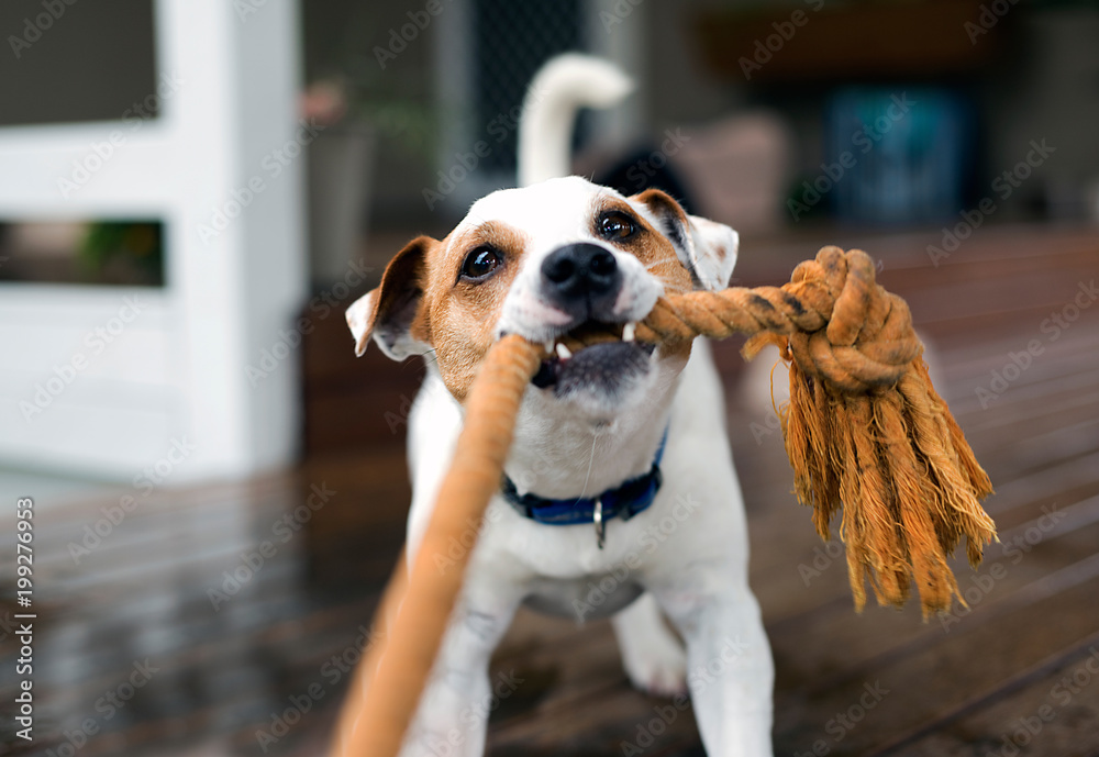Fox terrier pulling on rope