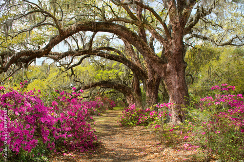 Poster Weg in bos Pathway through beautiful blooming park. Azaleas flowers blooming under the tree on a spring morning. Magnolia Plantation and Gardens, Charleston, South Carolina, USA.