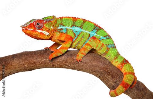 Foto op Plexiglas Kameleon Chameleon crawling