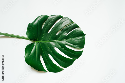 Poster Vegetal Green monstera tropical leaf on white background.