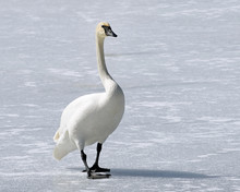 Wild Trumpeter Swan With Its D...