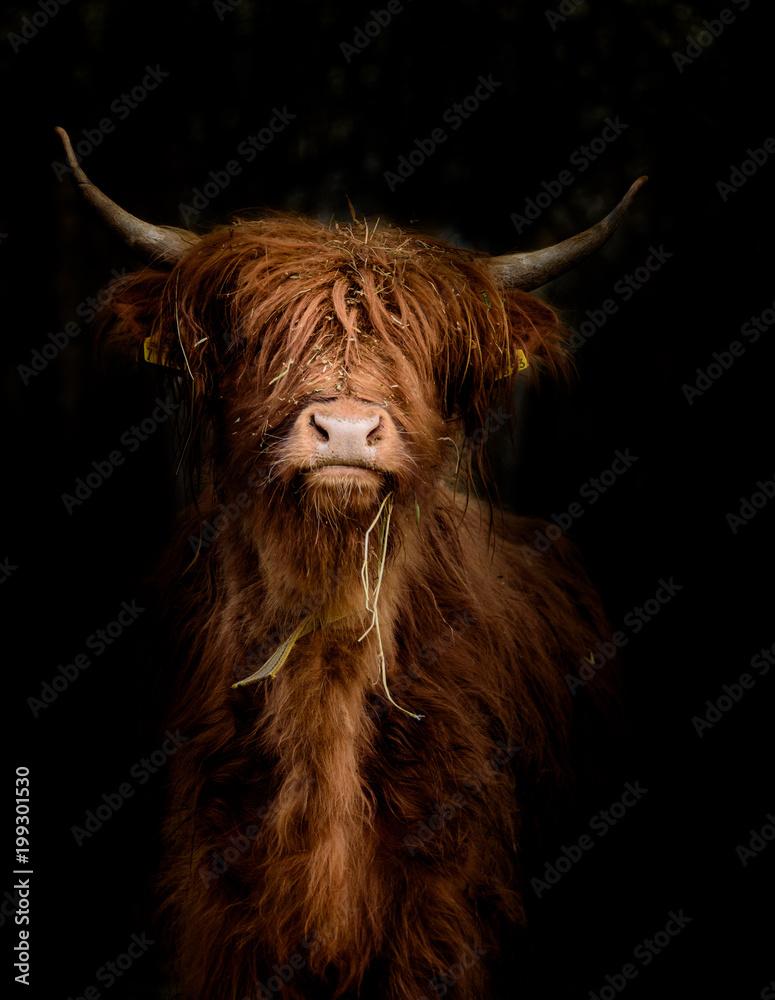 Fototapeta Schottisches Hochlandrind (Bos taurus) im Portrait vor dunklem Hintergrund