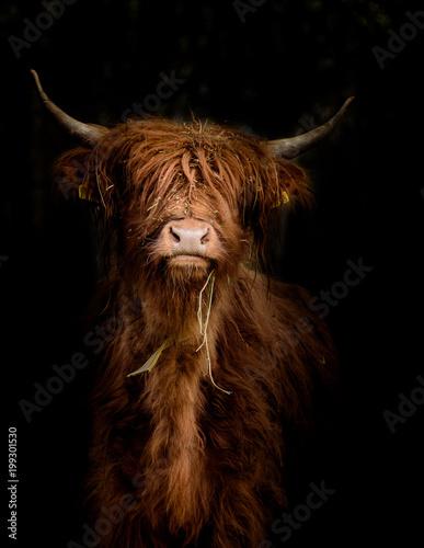 Schottisches Hochlandrind (Bos taurus) im Portrait vor dunklem Hintergrund