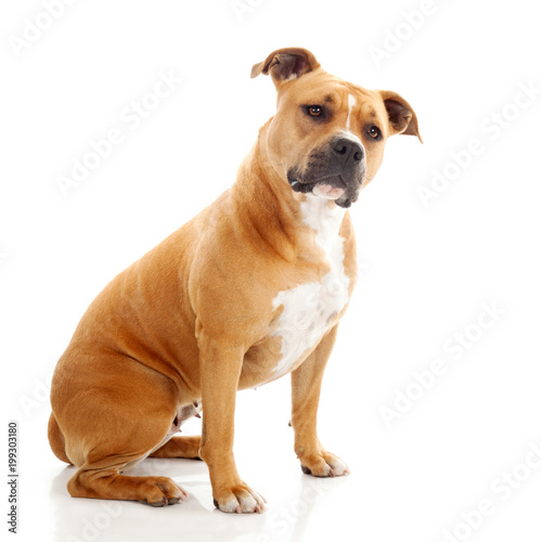 Fotografija  interrogative staffordshire dog isolated