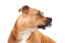 Beautiful Profile American Staffordshire Dog Isoalted